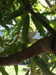 Sat under the Mango Tree November 2013