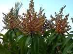 Mango tree in full bloom 2011