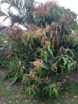 Mango Tree September 2013