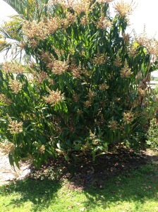 Mango Tree 2014